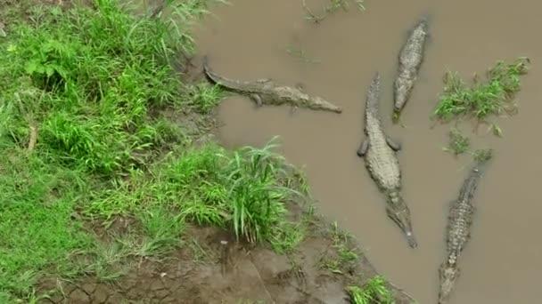 Říční vody zaplavená krokodýly zvířata plazi v Kostarice