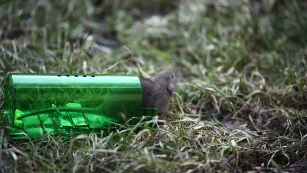 Große graue Maus oder kleine Ratte gefangen in grünen Plastik humane Mausefalle, Freisetzung zu frischem Gras im Park