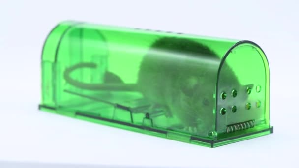 große lebendige Maus oder Ratte gefangen in grünen Plastik humane Mausefalle, Innenansicht