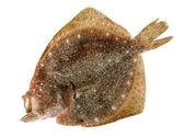 Photo Turbot fish on white background