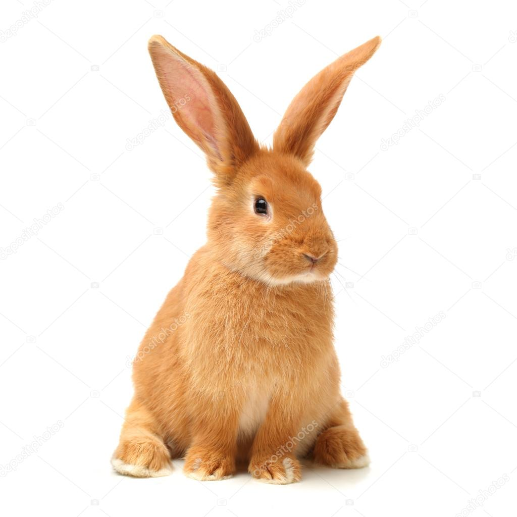 Photo Collection Big Ears Of Rabbit
