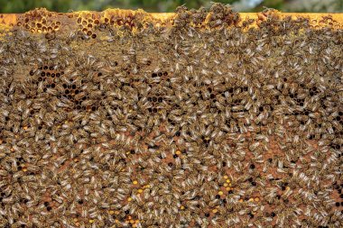 Healthy honey bee frame covered with bees, capped larvae cells a