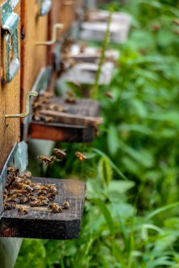 Hives in an apiary with bees flying to the landing boards in a g