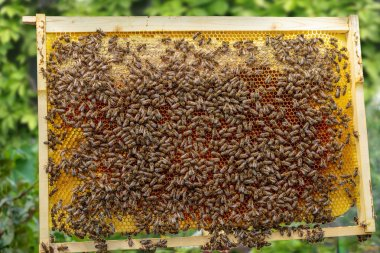 Healthy honey bee frame covered with bees and capped honey cells