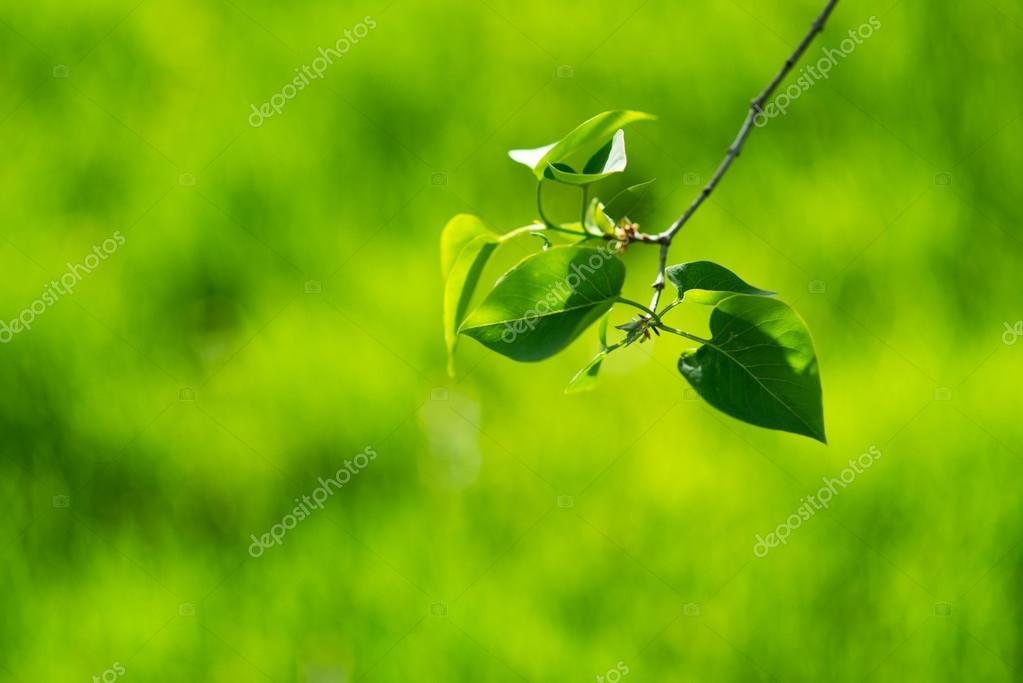 Green spring leaves