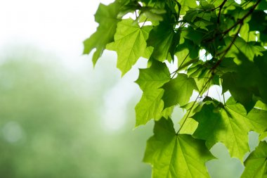 Fresh green leaves