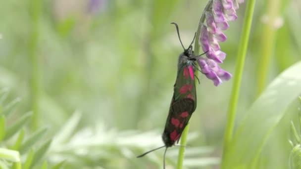 červený tečkovaný černý motýl na orchidej fs700 odyssey 7q