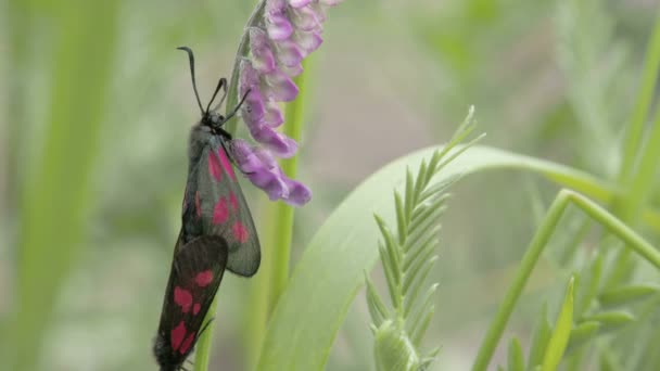 Two black butterflies are mating on the stem of the plant FS700 Odyssey 7Q