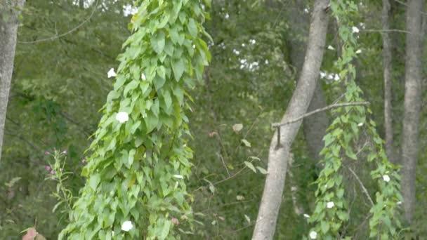 a mező mezei szulák növény hosszú szőlő