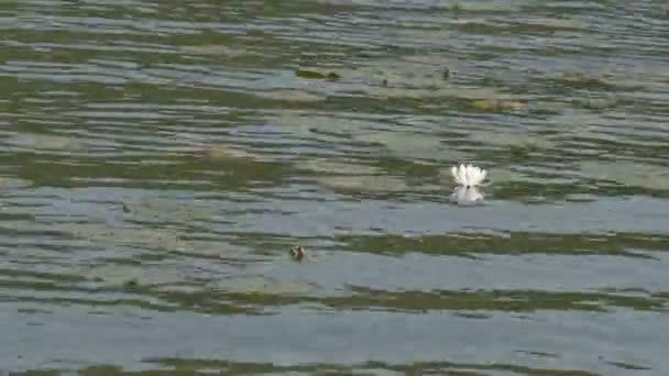 spousta lekníny plovoucí na velký rybník