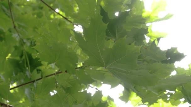 Bližší pohled velký zelený javorový list