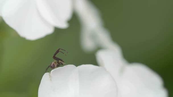a thomisidae pók van a szélén a szirom