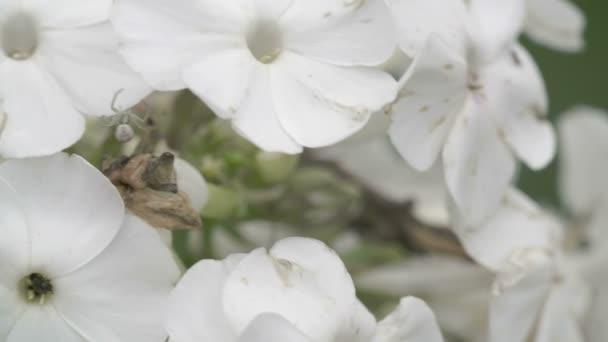 die Krabbenspinne kriechen auf die weiße Blume