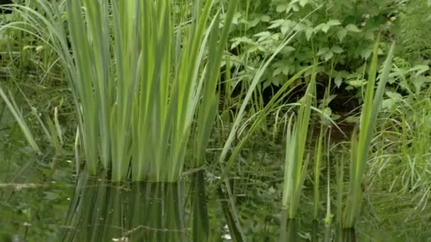 Iris grass on the small swamp