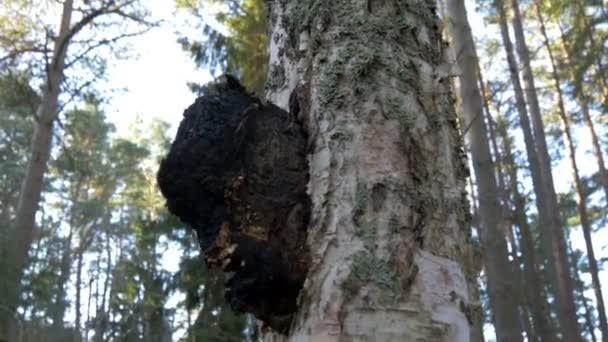 A chaga mushroom on a birch tree