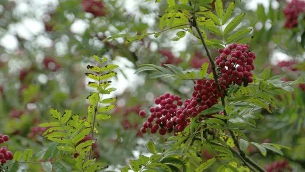 Lots of Sorbus fruits on the European Rowan tree FS700