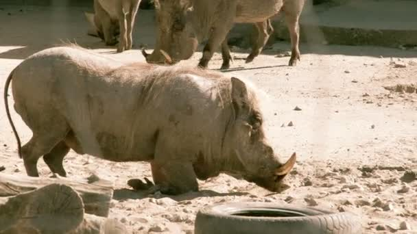 A small desert warthog walking and then lying on the mud FS700