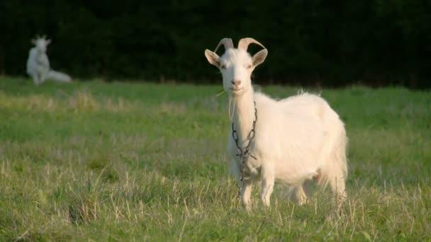Bílá kozička s řetízkem na krku Fs700