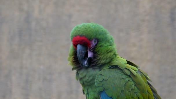 Šéf zelených papoušků