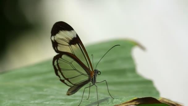 gyönyörű barna pillangót