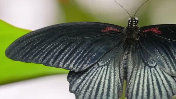 nagy szép fekete pillangó