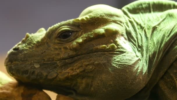 head of the Rhinoceros iguana