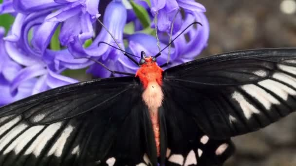 fekete, fehér foltok pillangó
