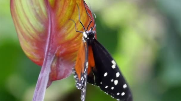black orange butterfly climbing on a leaf