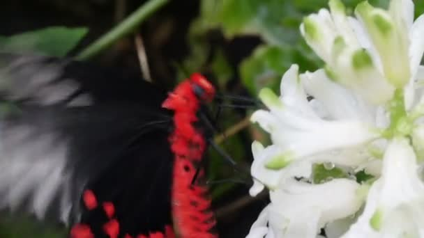 Red and black butterfly sucking flower