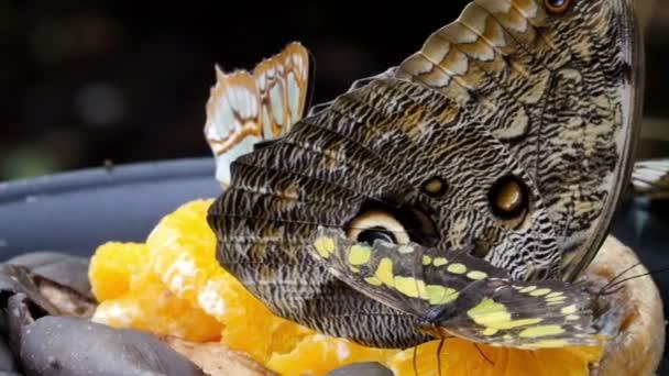 vier Schmetterlinge auf den Orangen
