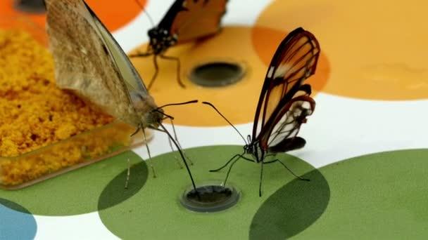 Tři hnědé motýli sání vody