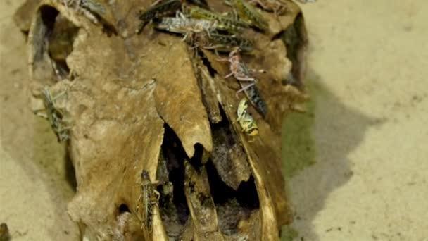 Heuschrecken-Herde auf Rooten Schädel