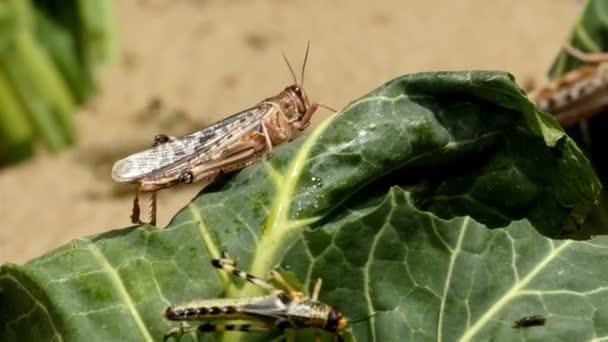 Braune Heuschrecken fressen
