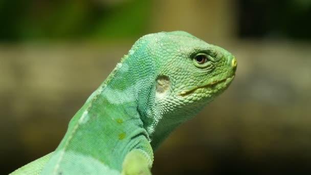 Fiji Iguana standing on a branch
