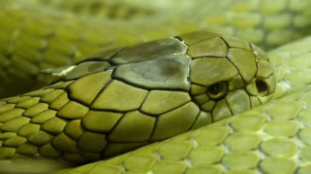 a king Cobra mérlegek