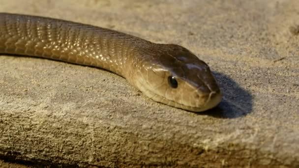 schalen van de zwarte mamba slang — stockvideo © nordicstocks #68622167