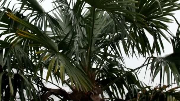 Coco palm strom v zahradě