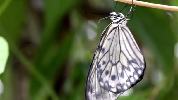 fekete-fehér csíkos pillangó