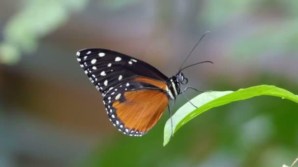 Fekete narancssárga pillangó fehér foltok
