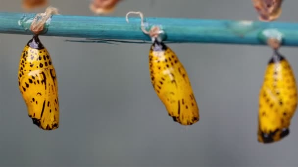 Schmetterlinge im Puppenstadium