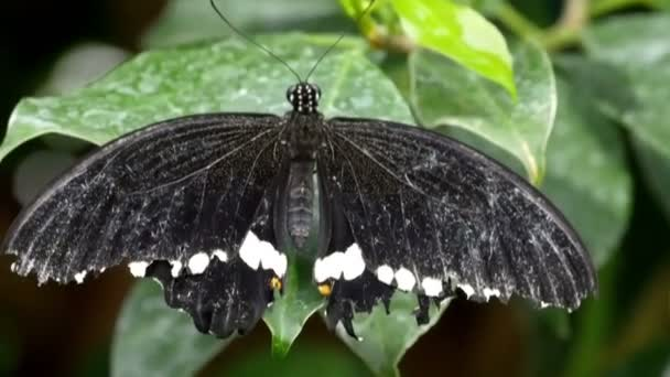 black butterfly with a white spots