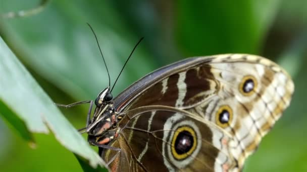 Brown with black spots butterfly
