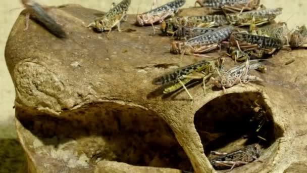 Kriechende Insekten, Heuschrecken genannt