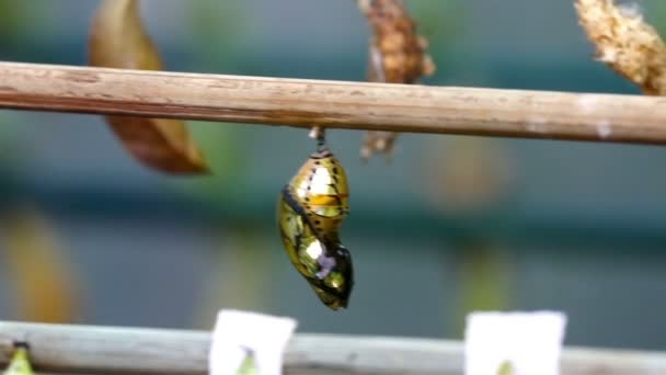 golden shiny pupa of a butterfly