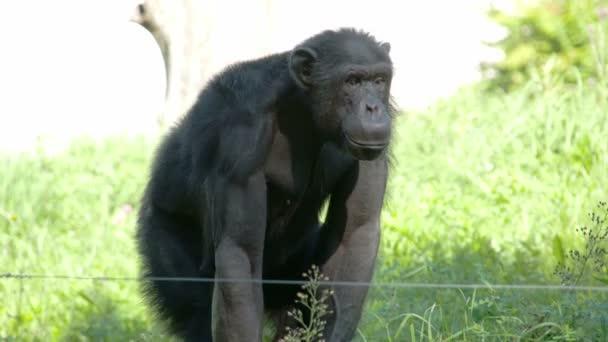 black ape standing on the grass