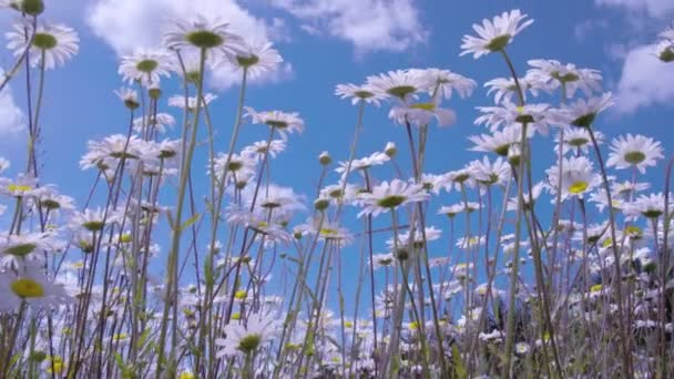 White tall daises in field