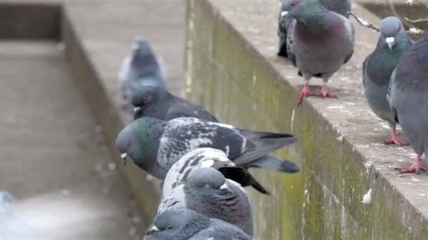 Pigeons are waiting for feed
