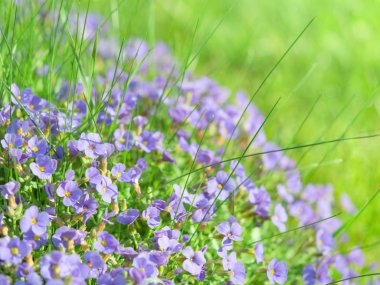Small blue field flowers on sunlight alpine meadow