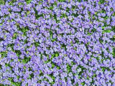 Aubrieta tiny blue summer flowers background
