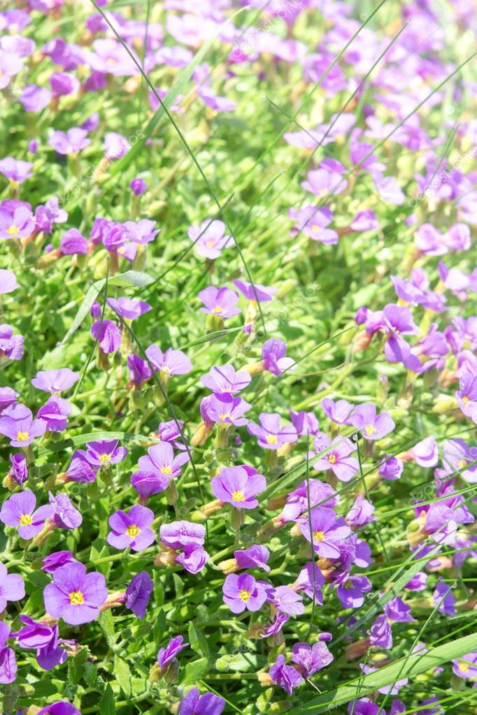 Vertical Floral Background With Small Violet Aubrieta Flowers Stock Photo